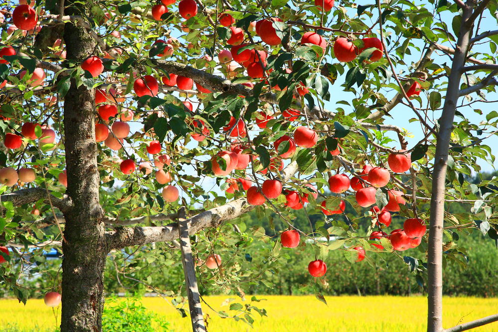 『りんごの木のオーナー』になって、りんご園の開設を応援しませんか🍎